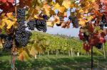 Im Süden der Wein